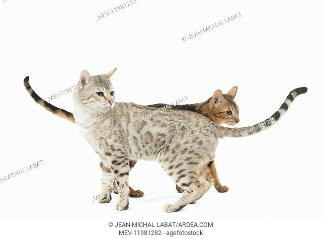 Bengal Cat, male and female pair