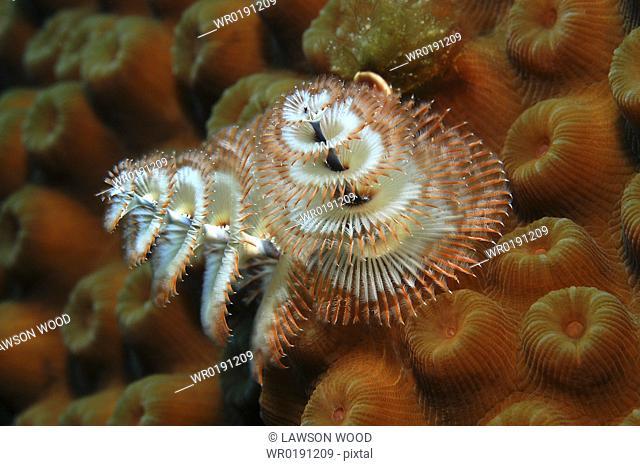 Christmas Tree Worm Spirobranchus giganteus, Close up of individual on ochre coloured hard coral, Cayman Brac, Cayman Islands, Caribbean