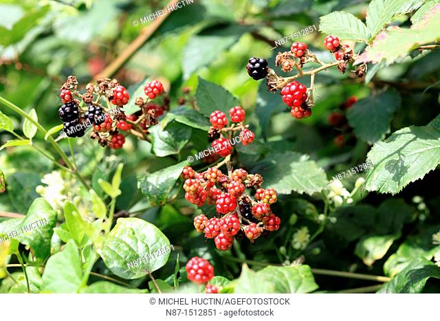 The Mulberry is a shrub, it is grown for its fruits, family Moraceae