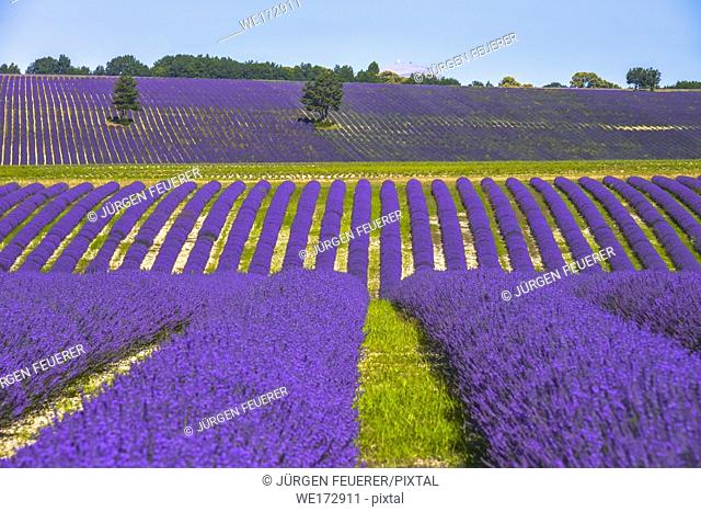 hills landscape with lavender field and trees, Provence, France, mountain top of Mont-Ventoux at the horizon