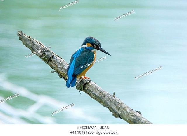 Alcedo Atthis, Common Kingfisher