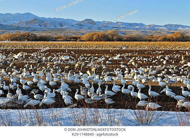 Snow Goose Chen caerulescens Flock congregating on refuge feeding grounds , Bosque del Apache NWR, New Mexico, USA
