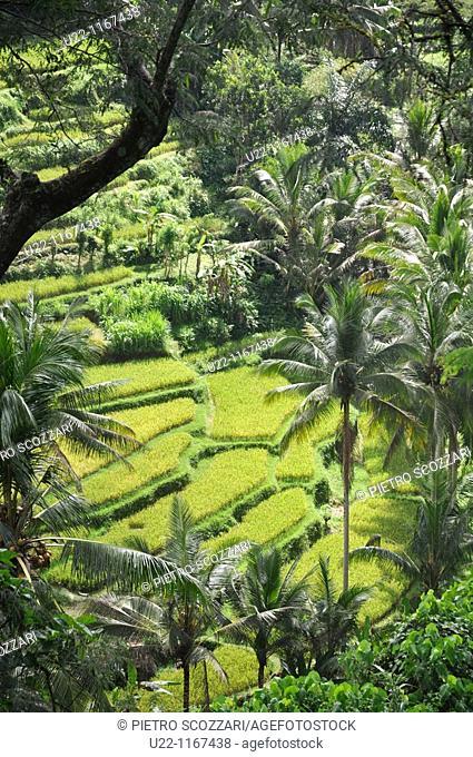 near Ubud (Bali, Indonesia): the Sayan paddies