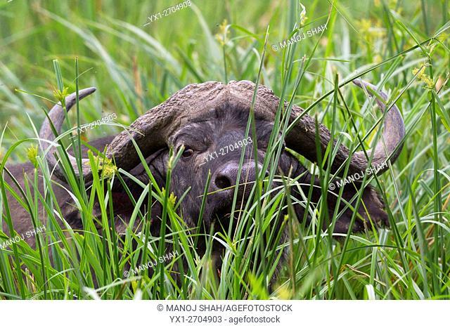 Buffalo in swamp in Masai Mara National Reserve, Kenya