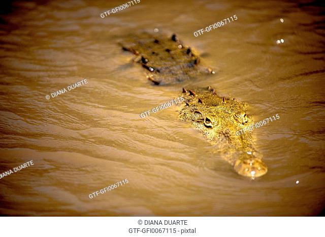 Crocodile, Costa Rica