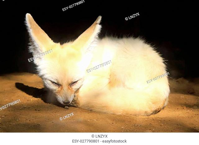 Fennec Fox in the Beijing zoo, china