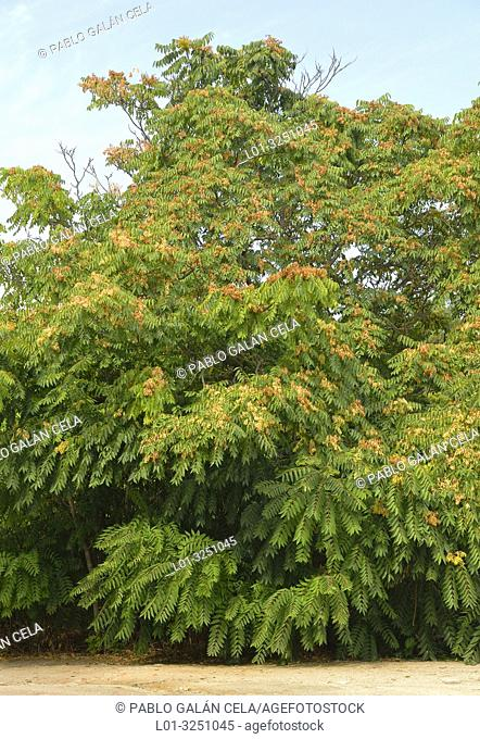 Tree of heaven (Ailanthus altissima )
