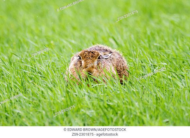 Mountain Hare (Lepus timidus) in the rain, Flanders Moss, Scotland, UK
