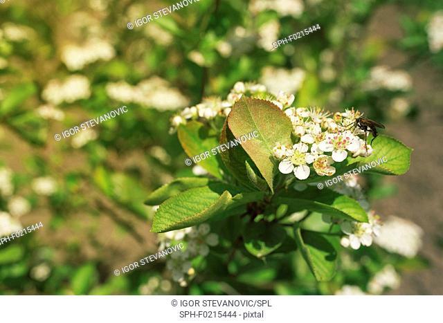 Aronia melanocarpa blossom