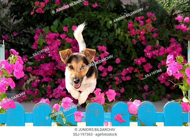 Jack Russell Terrier. Adult dog jumping over a blue fence. Spain