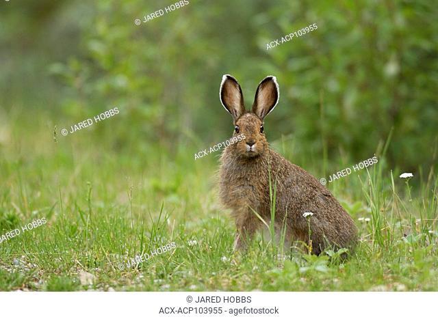 Snowshoe Hare, Lepus americanus, British Columbia, Canada, Canada