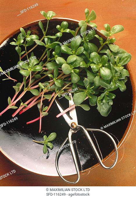 Purslane in a Bowl with Scissors