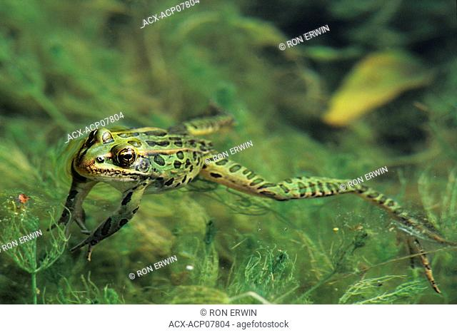 Northern Leopard Frogs have a wide range of habitats. They are found in permanent ponds, swamps, marshes and slow moving streams throughout forest