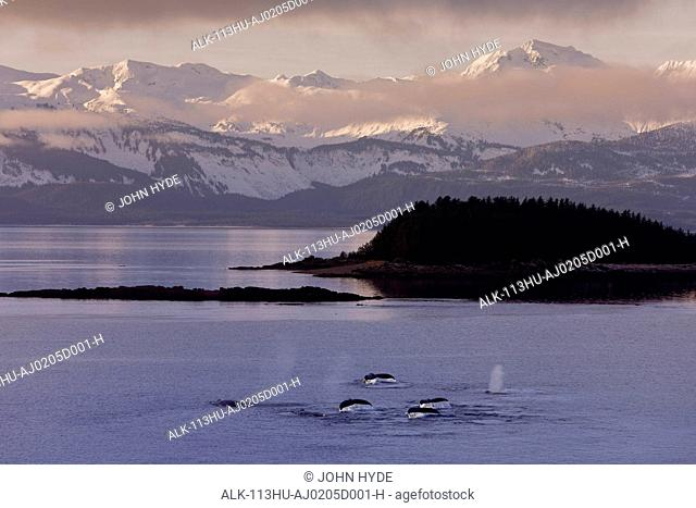 A pod of Humpack whales feeding near Benjamin Island in Lynn Canal with snowcovered Chilkat Mountains in the background during Winter in Southeast Alaska