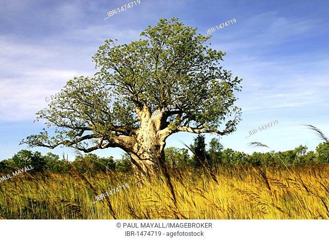 Baobab tree (Adansonia digitata), Northern Territory, Australia