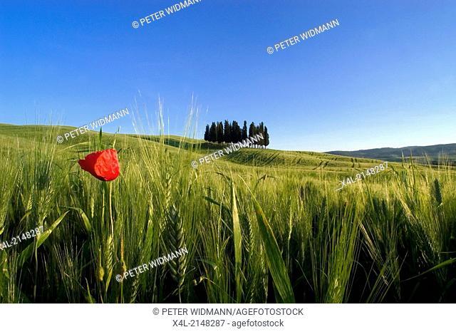 poppy, Italy, Tuscany