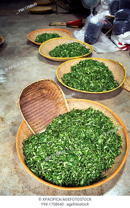 Baskets of freshly picked Camellia sinensis leaves used in the production of green tea