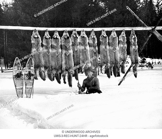 North America: c. 1955 A man kneels in the snow in front of the eleven wolves he has shot and has strung up on a pole