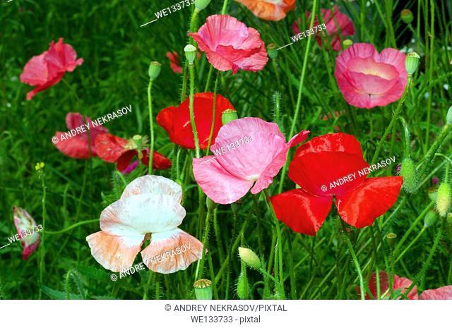 poppies (Papaver somniferum) Dalnegorsk city district, Far East, Primorsky Krai, Russian Federation