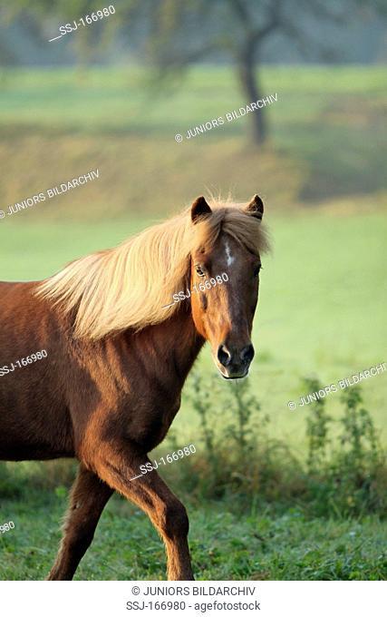 Icelandic horse on meadow