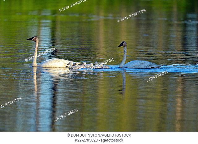 Trumpeter swan (Cygnus buccinator) Adults feeding in pond with young, Seney NWR, Seney, Michigan, USA