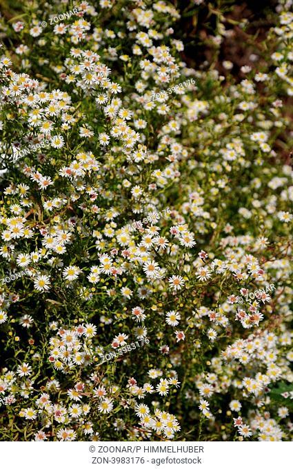 Blütenrispen