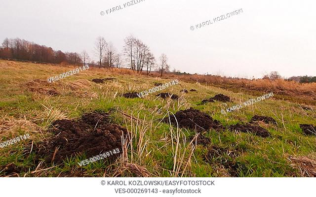 Molehills on a green meadow near Lublin in Poland