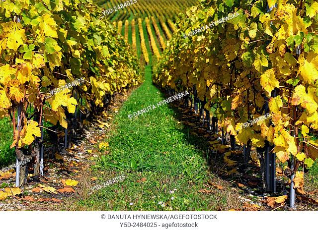 Europe, Switzerland, Canton Vaud, La Côte, vineyards patterns, early autumn