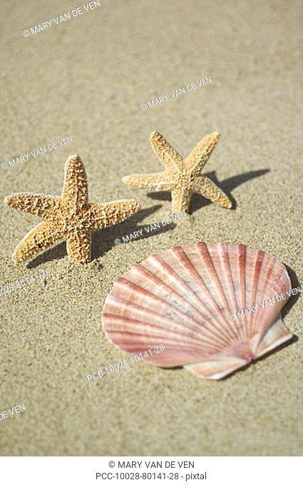 Two small orange seastars dancing in sand, with pink scallop shell