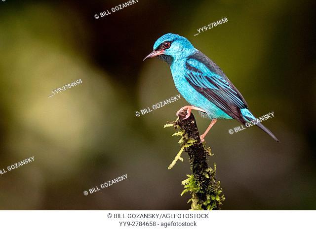Blue Dacnis male (Dacnis cayana) - Laguna del Lagarto Lodge, Boca Tapada, Costa Rica