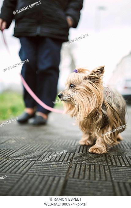 Yorkshire Terrier going walkies