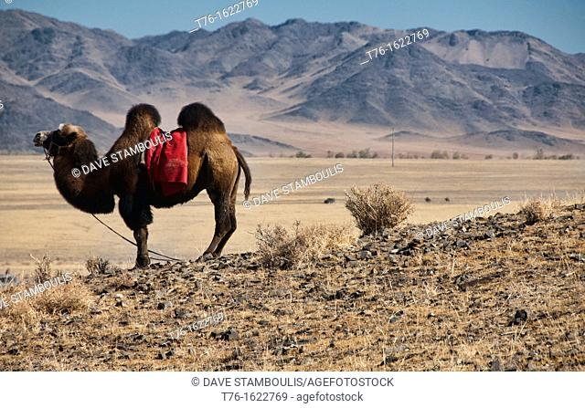 Bactrian camel on the Central Asian Steppe at the Kazakh Eagle Hunters' Festival in the Altai Region of Bayan-Ölgii in Western Mongolia