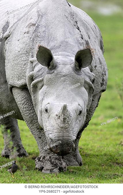 Indian rhinoceros (Rhinoceros unicornis), threatened species, Kaziranga National Park, Assam, India