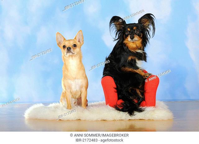 Chihuahua sitting on a sheepskin, Papillon-Chihuahua crossbreed, hybrid, sitting on a red mini sofa