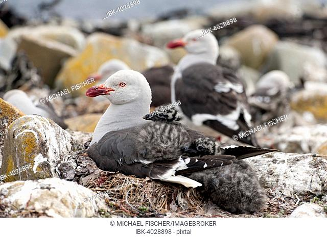 Dolphin gull (Leucophaeus scoresbii) with chick, Sea Lion Island, Falkland Islands