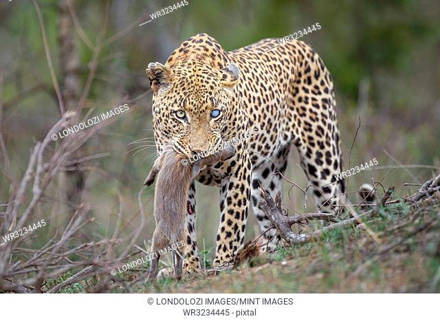 A leopard, Panthera pardus, with one blue-clouded eye, looking away, stands with a warthog piglet in its mouth, Phacochoerus africanus