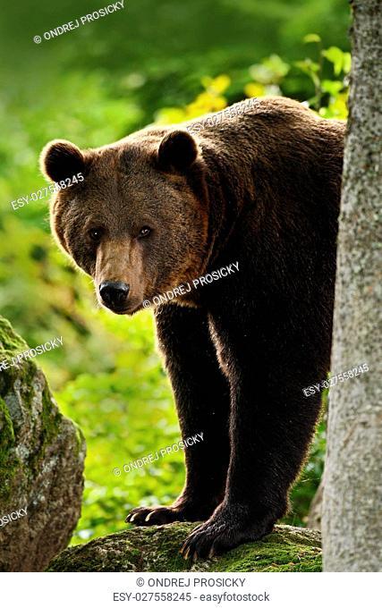 Brown bear, Ursus arctos, hideen behind the tree trunk in the fo