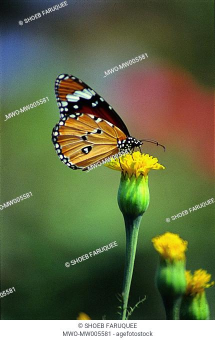 Butterfly on the bud of a marigold locally known as gada flower Bangladesh