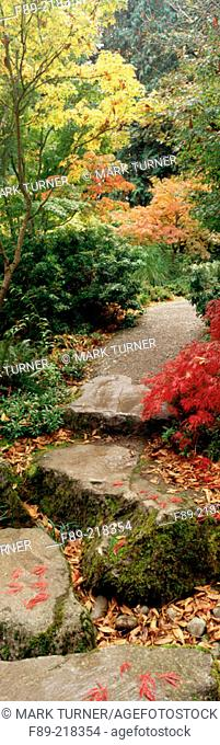 Japanese Maples (Acer palmatum) border gravel path with stone stepping-stones. Bellevue Botanical Garden. Washington. USA