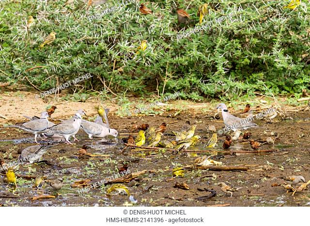 Kenya, lake Magadi, chestnut bellied sandgrouse (Pterocles exustus), seedeater sp(Serinus sp), Chestnut Sparrow (Passer eminibey)