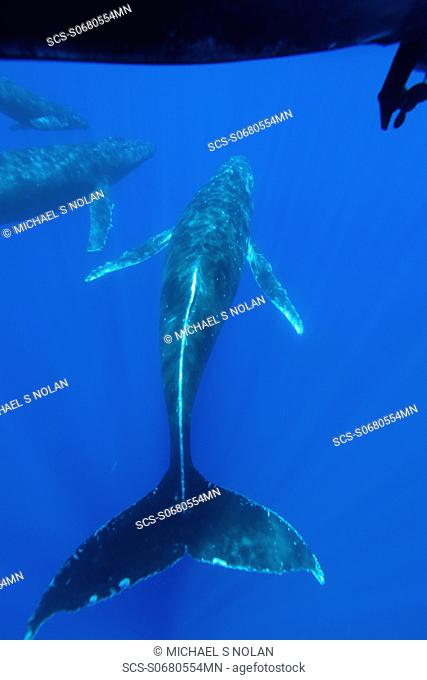 A curious cow calf and escort humpback whale Megaptera novaeangliae approach the boat underwater in the AuAu Channel between the islands of Maui and Lanai