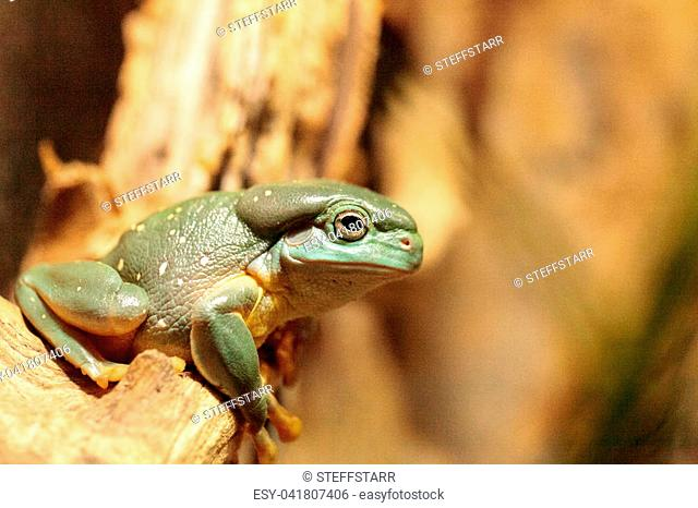 Magnificent tree frog Litoria splendida can be found in Australia and can be found in caves