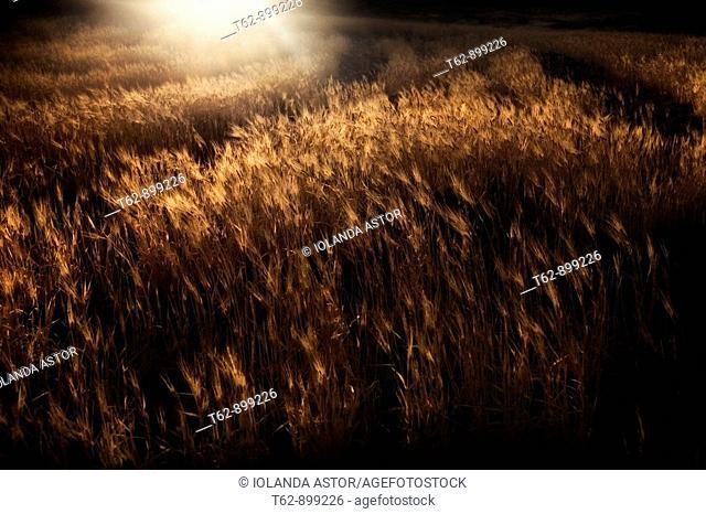 Wheat field in the light of dusk  Los Escullos, Parque Natural del Cabo de Gata, Almería, Andalusia, Spain