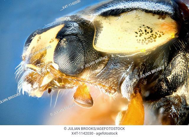 extreme close up of a ladybird's head, harlequin ladybird