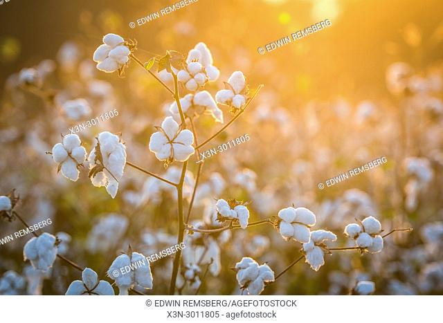 Warm sunlight showers down on soft and ripe cotton bolls, Tifton, Georgia. USA