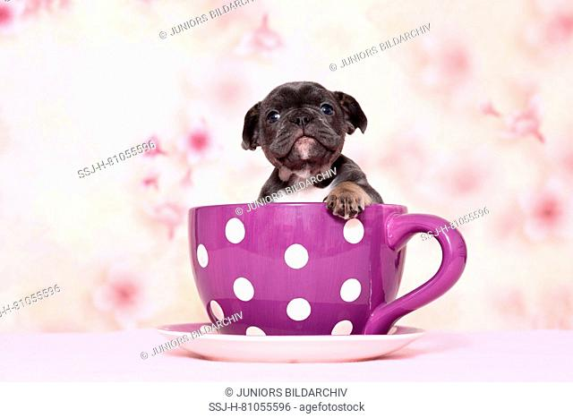 French Bulldog. Puppy sitting in a big purple cup with white polka dots in front of a floral design wallpaper. Studio picture. Germany