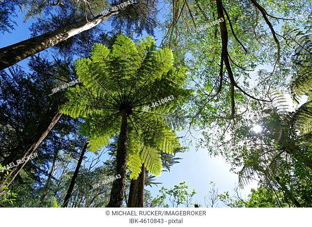 Silver fern (Cyathea dealbata) in tropical rainforest, Whanganui National Park, North Island, New Zealand
