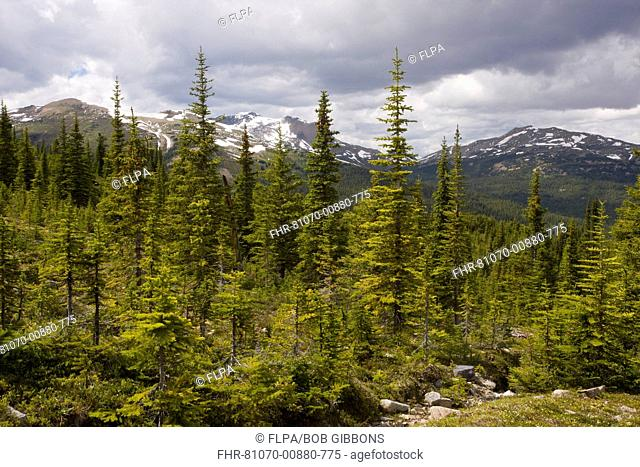 View of spruce, fir and pine mixed coniferous forest, Bald Hills, above Maligne Lake, Jasper N P , Rocky Mountains, Alberta, Canada, july