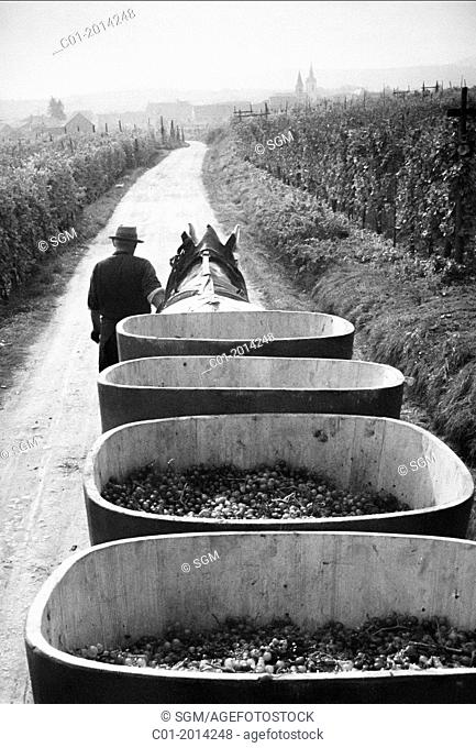 1963 Horse-drawn trailer with grape harvest Alsace France