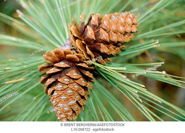 Pine cone from a Ponderosa Pine (Pinus ponderosa)